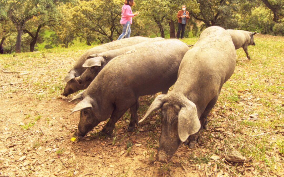 Denominaciones de Origen Protegidas. JABUGO, TIERRA DE CULTO